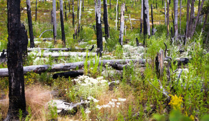 Burnt woods in BWCAW