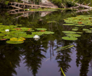 Water lily with reflection of pine trees